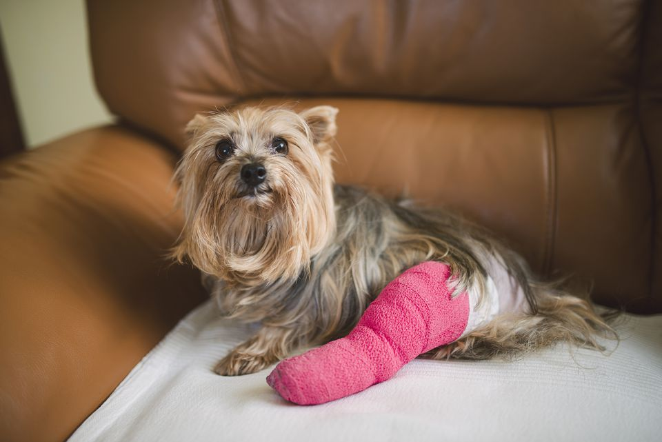 Yorkshire Terrier with pink plastered leg sitting on leather armchair