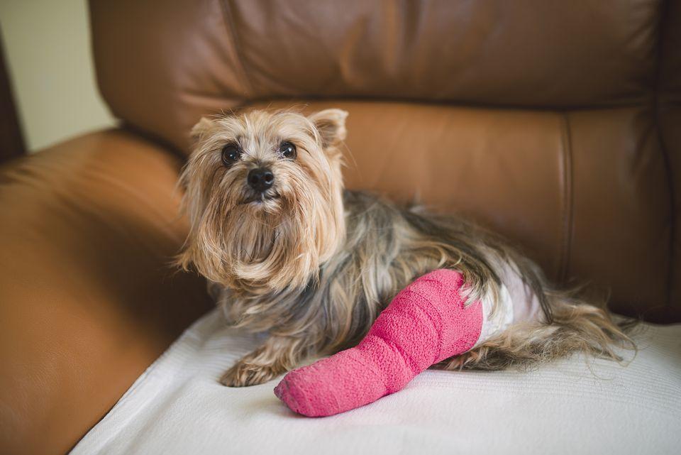Yorkshire Terrier con pierna enyesada rosa sentado en un sillón de cuero