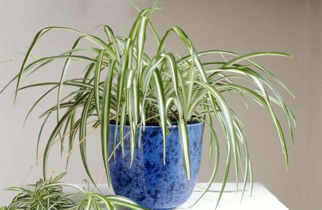 Spider plant in a blue pot