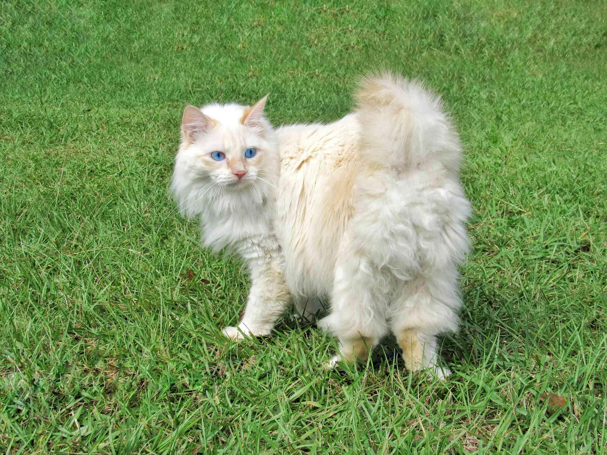 Gato Manm de pelo largo Cymric afuera