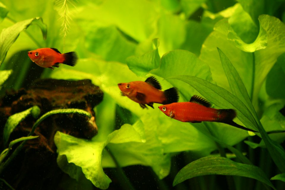 Two female and one male swordtail