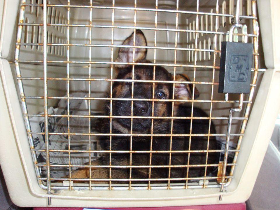German Shepard puppy
