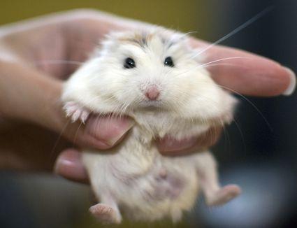 A white face roborovski dwarf hamster (pet) held