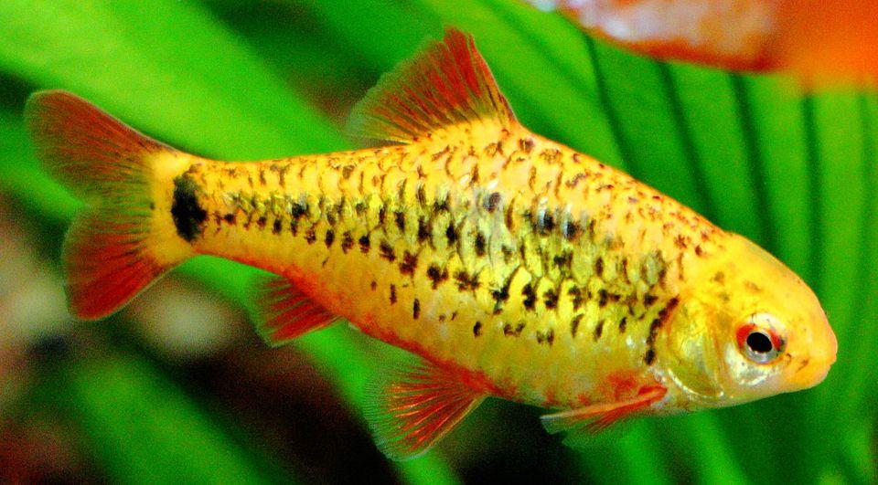 Gold Barb - Puntius semifasciolatus