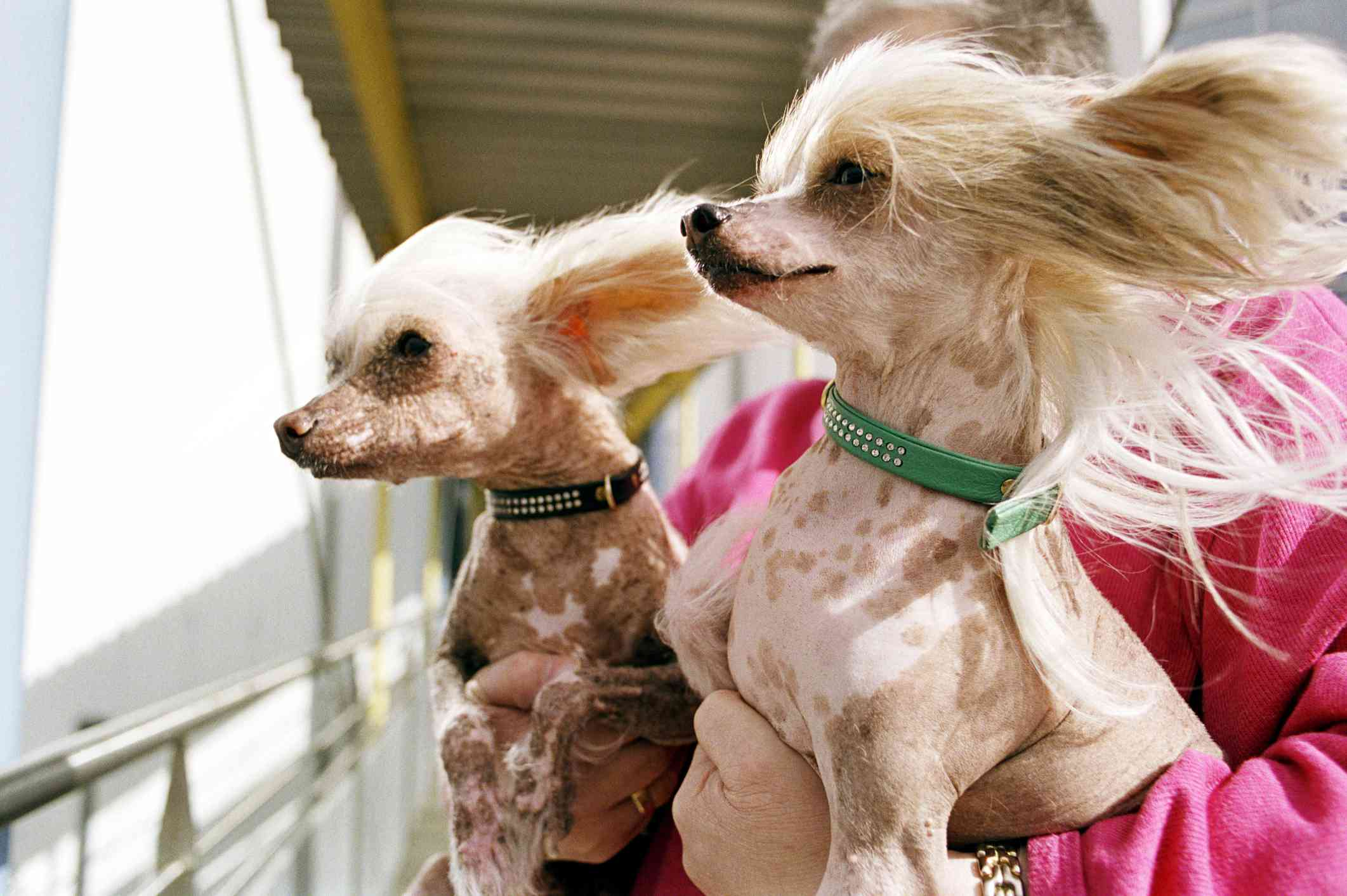 Two Chinese crested dogs on a boat
