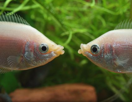 Kissing gouramis (Helostoma temminckii) males