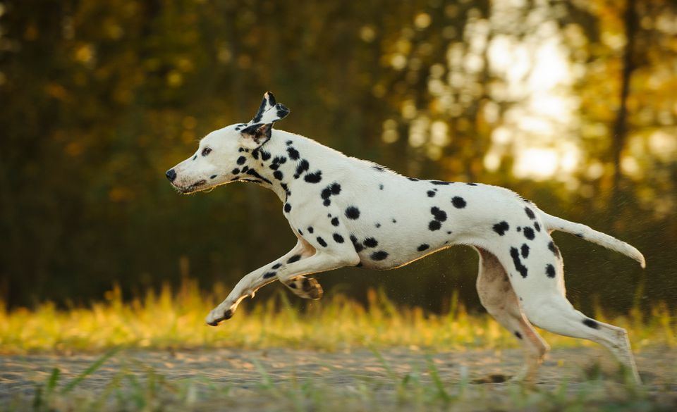 Dalmatian running with trees in background