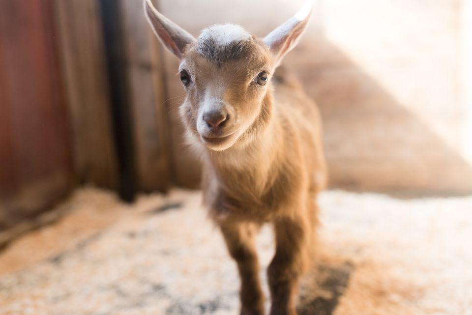 Baby goat in a pen