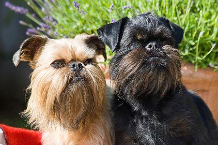 brussels griffon dog breed profile