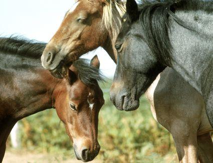 three horses sleeping in sun. close up of head.