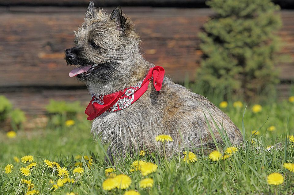 Cairn with Bandana sitting