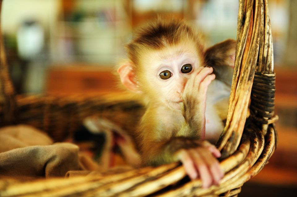 A baby monkey in a basket
