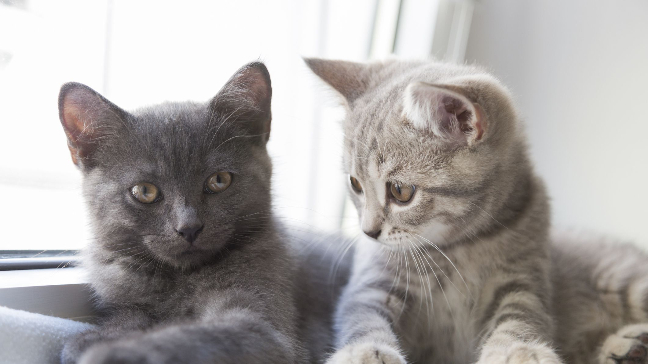 8 British Cat Breeds