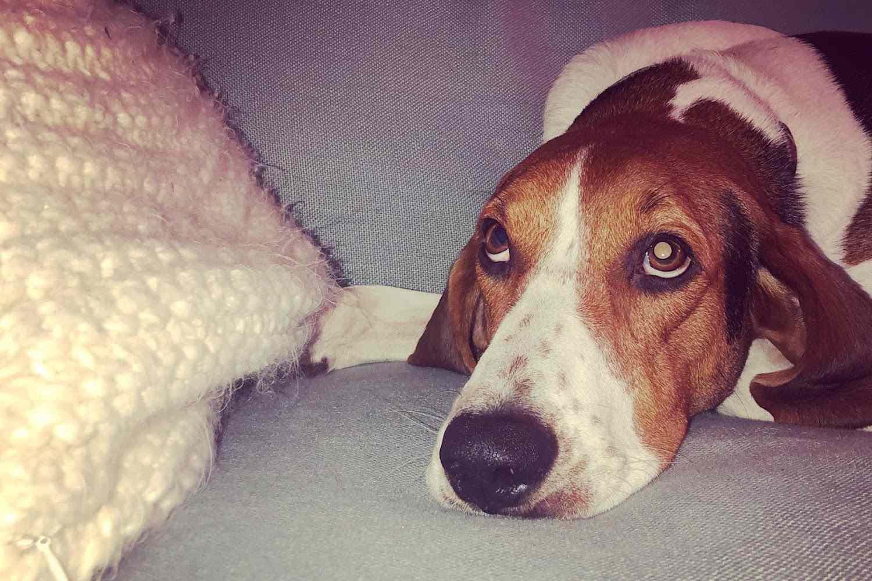 historia de adopción de perros masticables