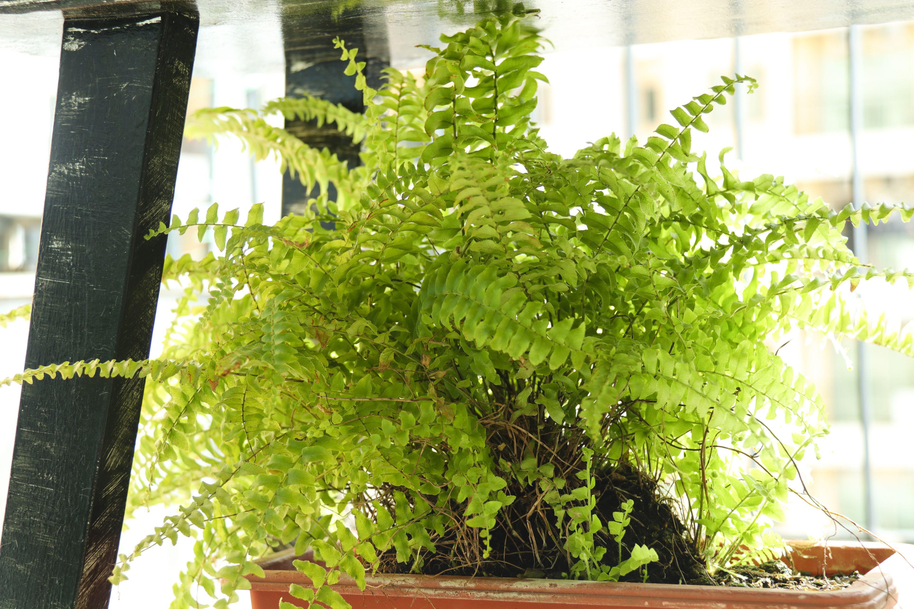 Boston fern near a window