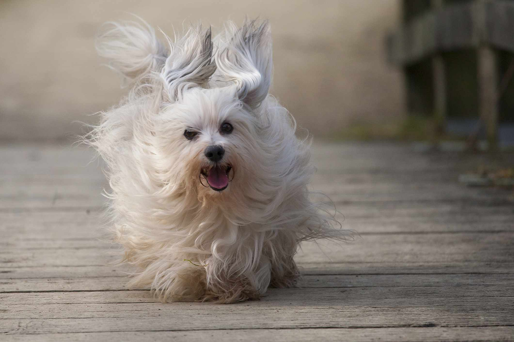 Havanese dog running on bridge with long ears flying in the wind.