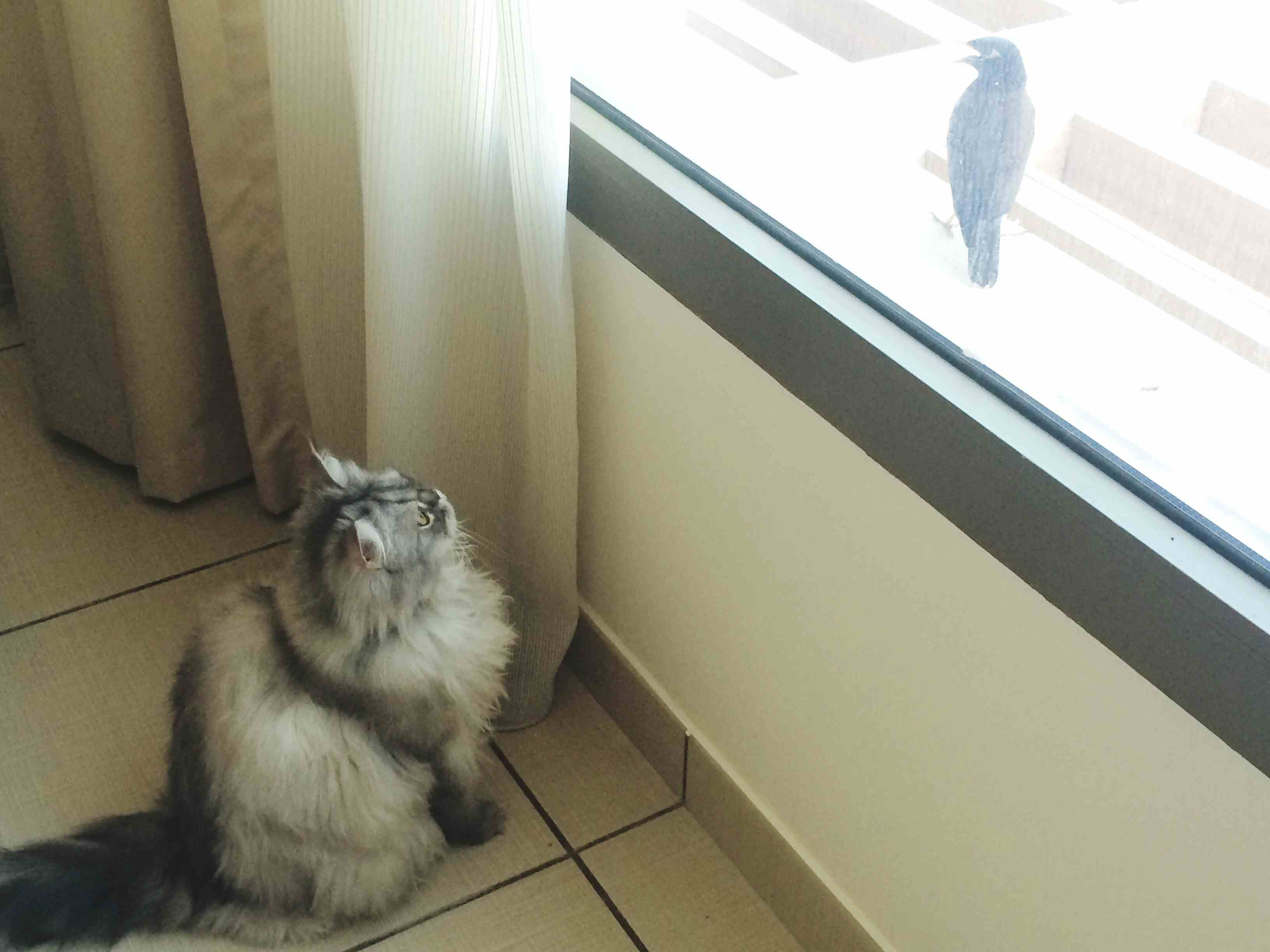 Maine Coon Cat looking at bird from window while sitting on floor