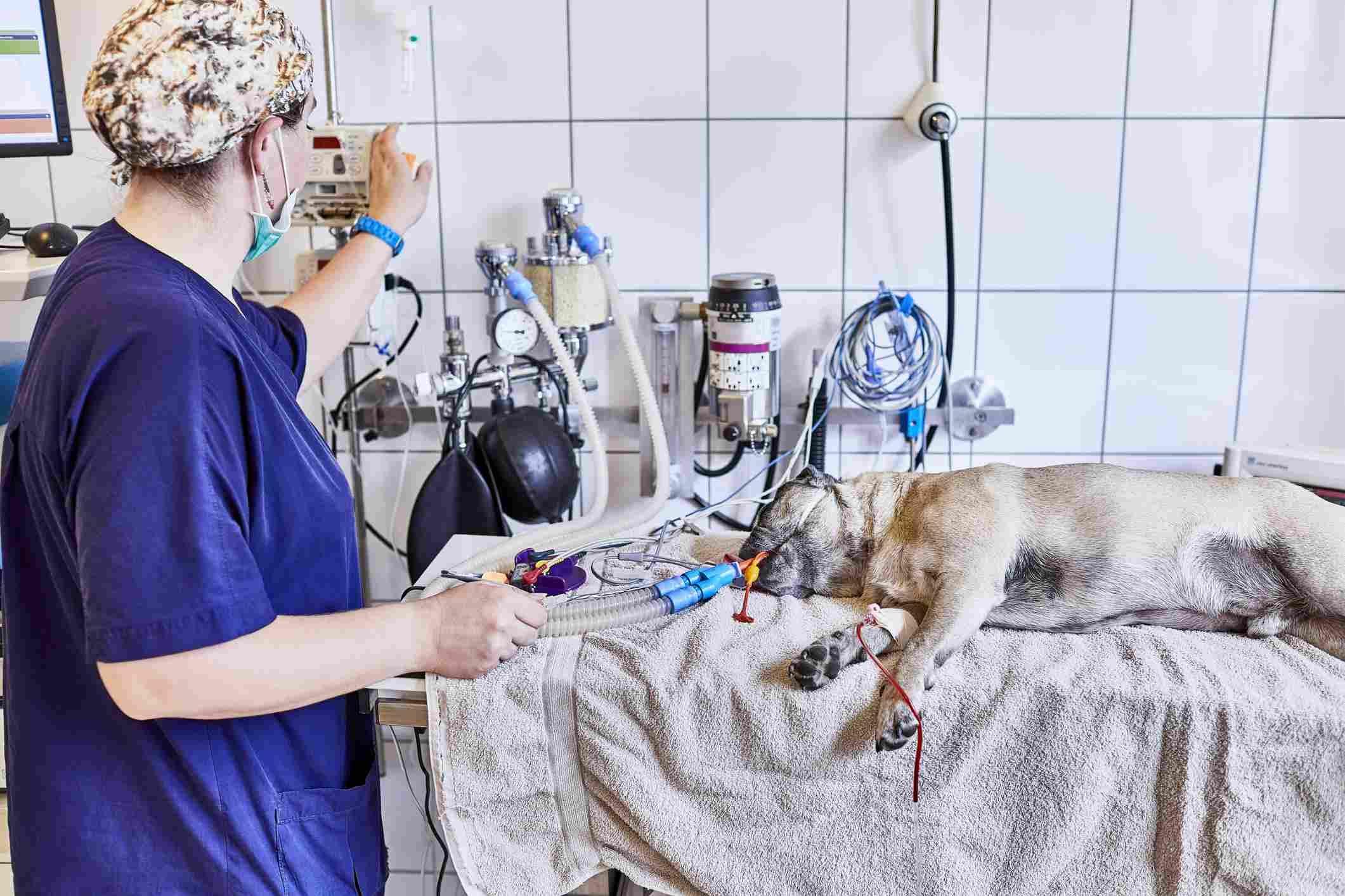 Enfermera preparando la operación para un perro anestesiado en un hospital de animales