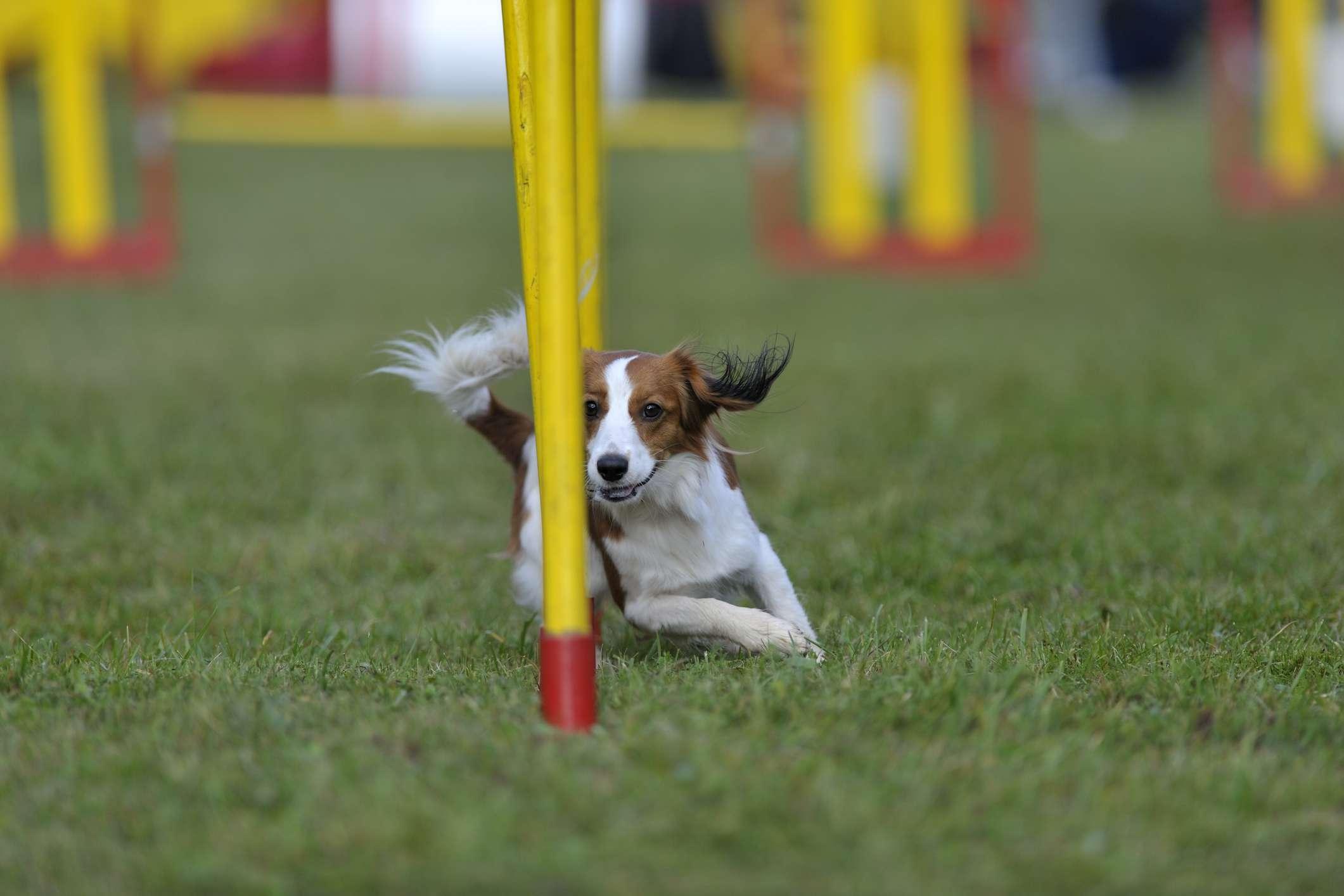 Kooiker in agility contest