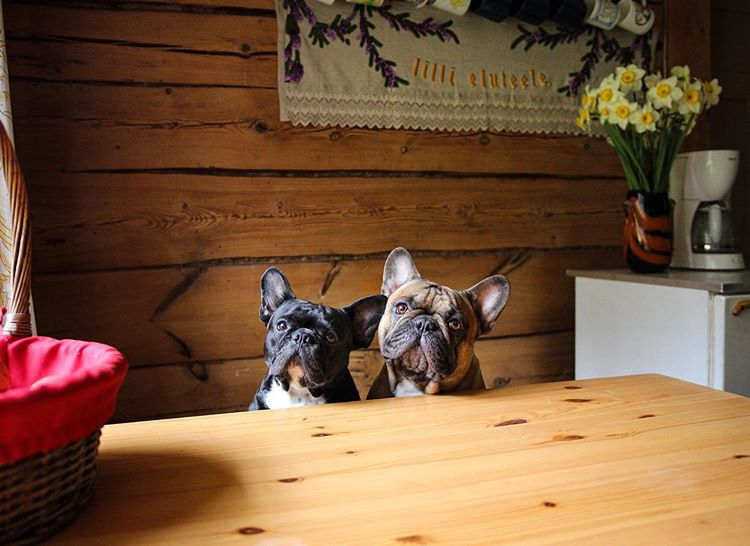 Two Frenchies sitting at a wood table and looking at the camera with perked ears.