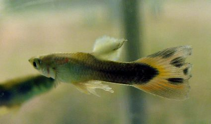 Guppy with fuzzy growth on dorsal fin