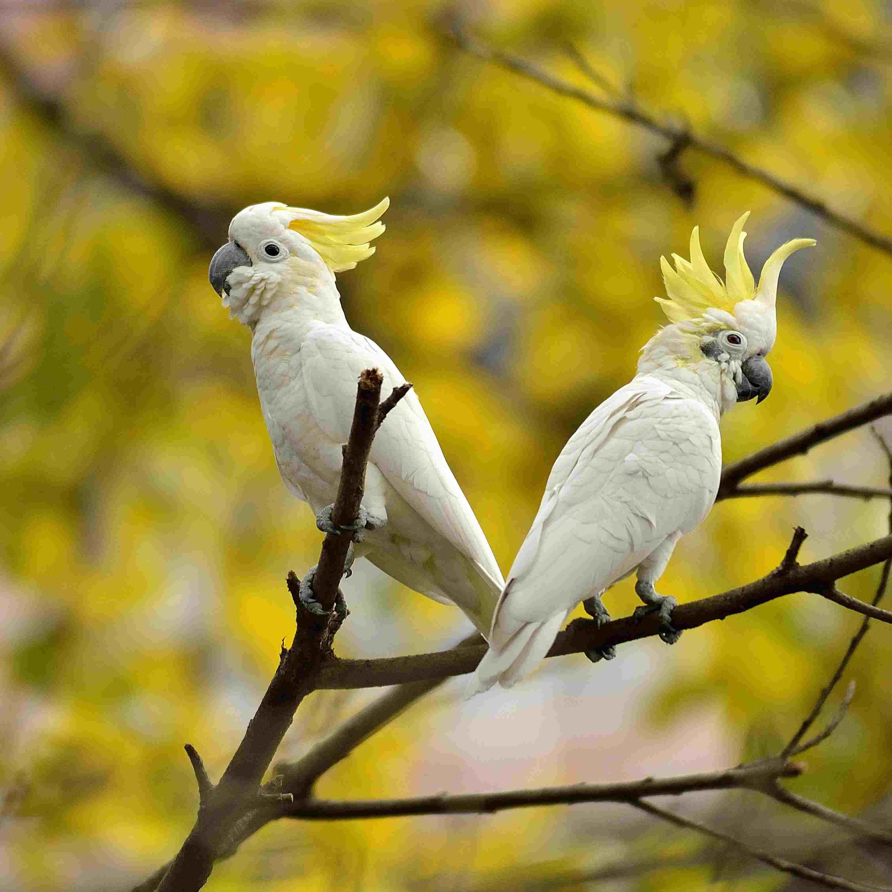Cockatoo pair with crest raised