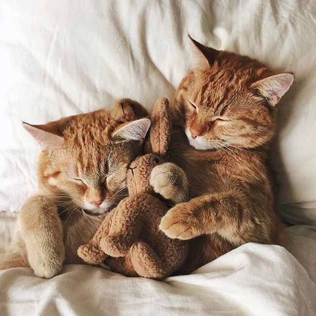 Two orange kittens taking a nap.