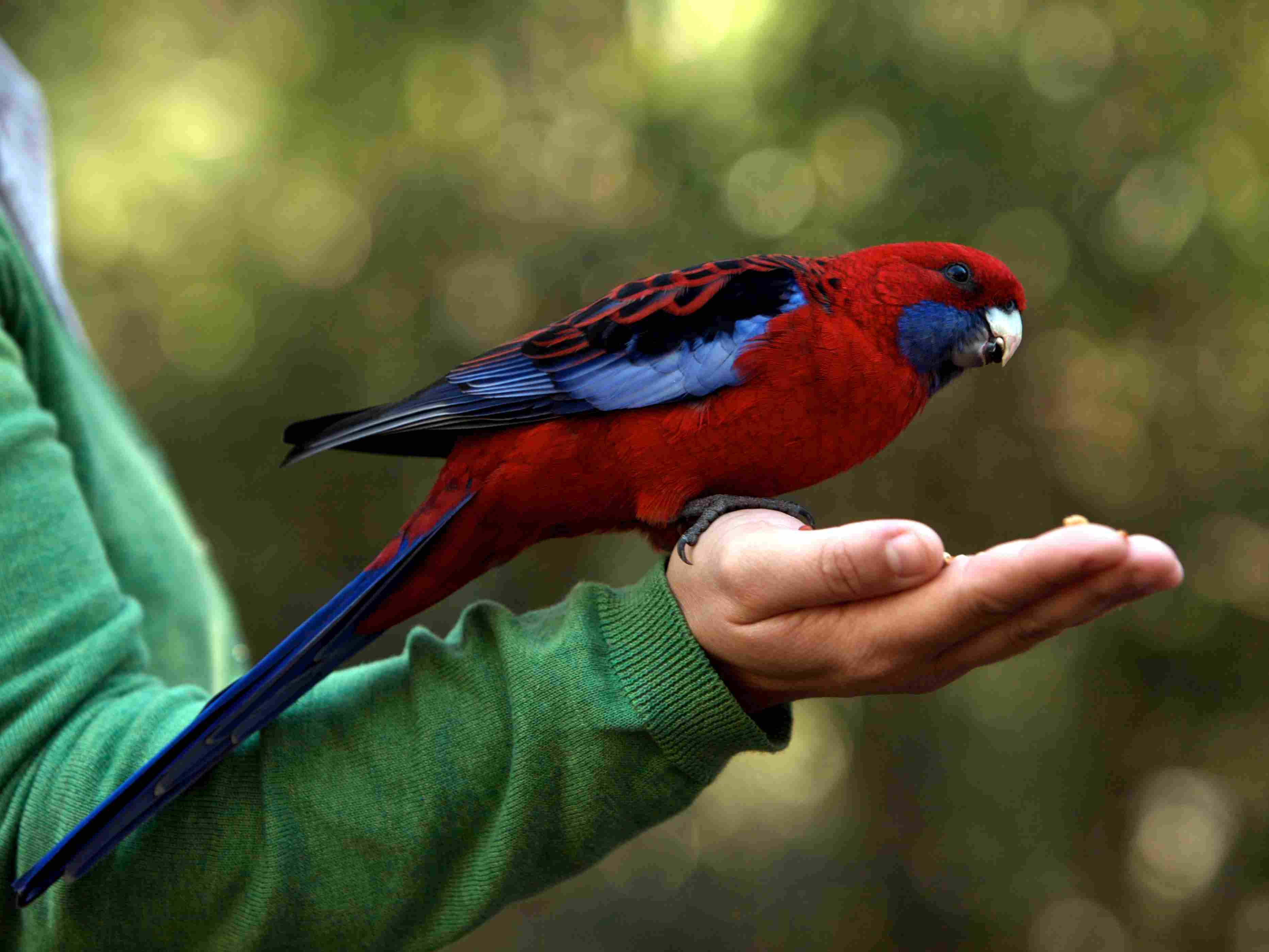 Feeding a female Eclectus parrot