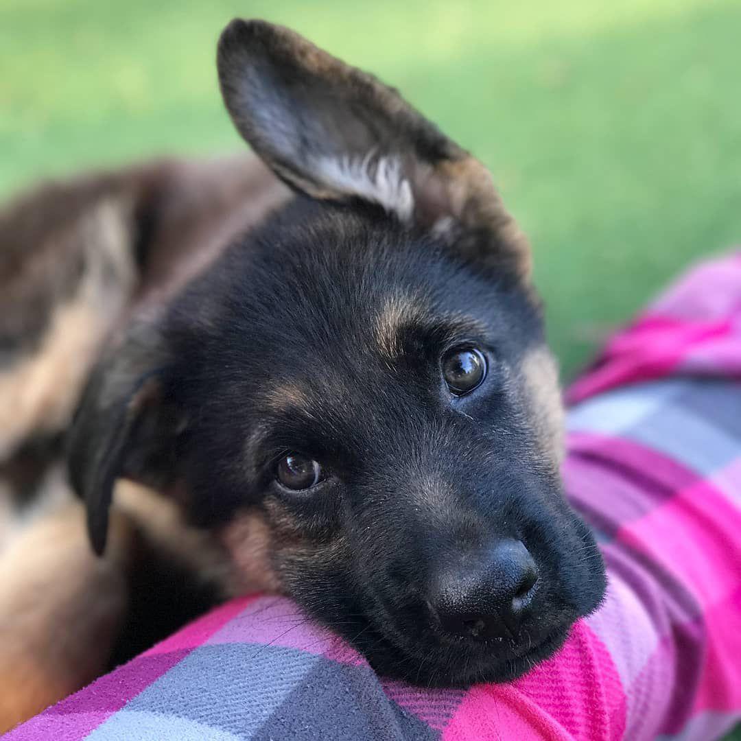 16 Cute German Shepher...
