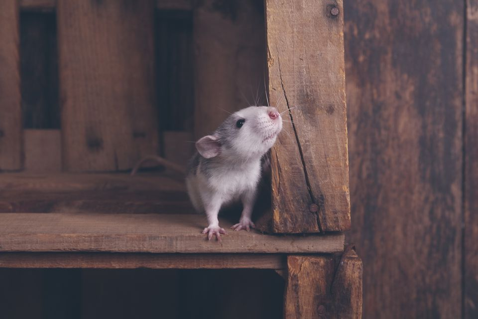 Pet rat in a wooden box