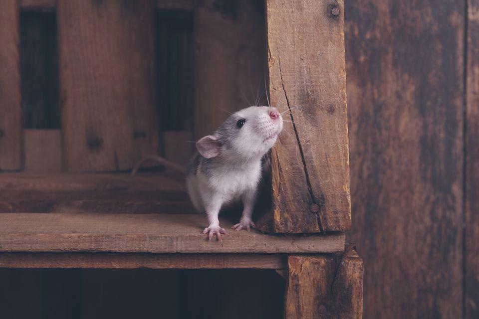 Rata mascota en una caja de madera