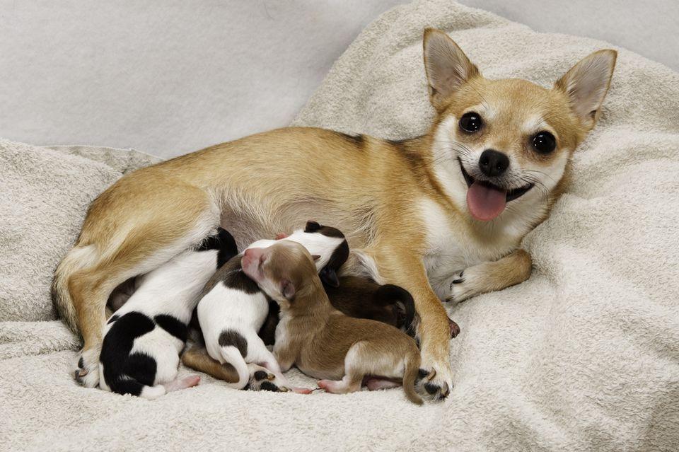 eclampsia perros cachorros lactantes
