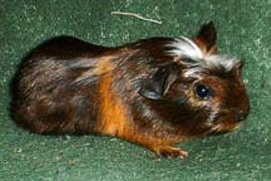Crested Guinea Pig - Freedom