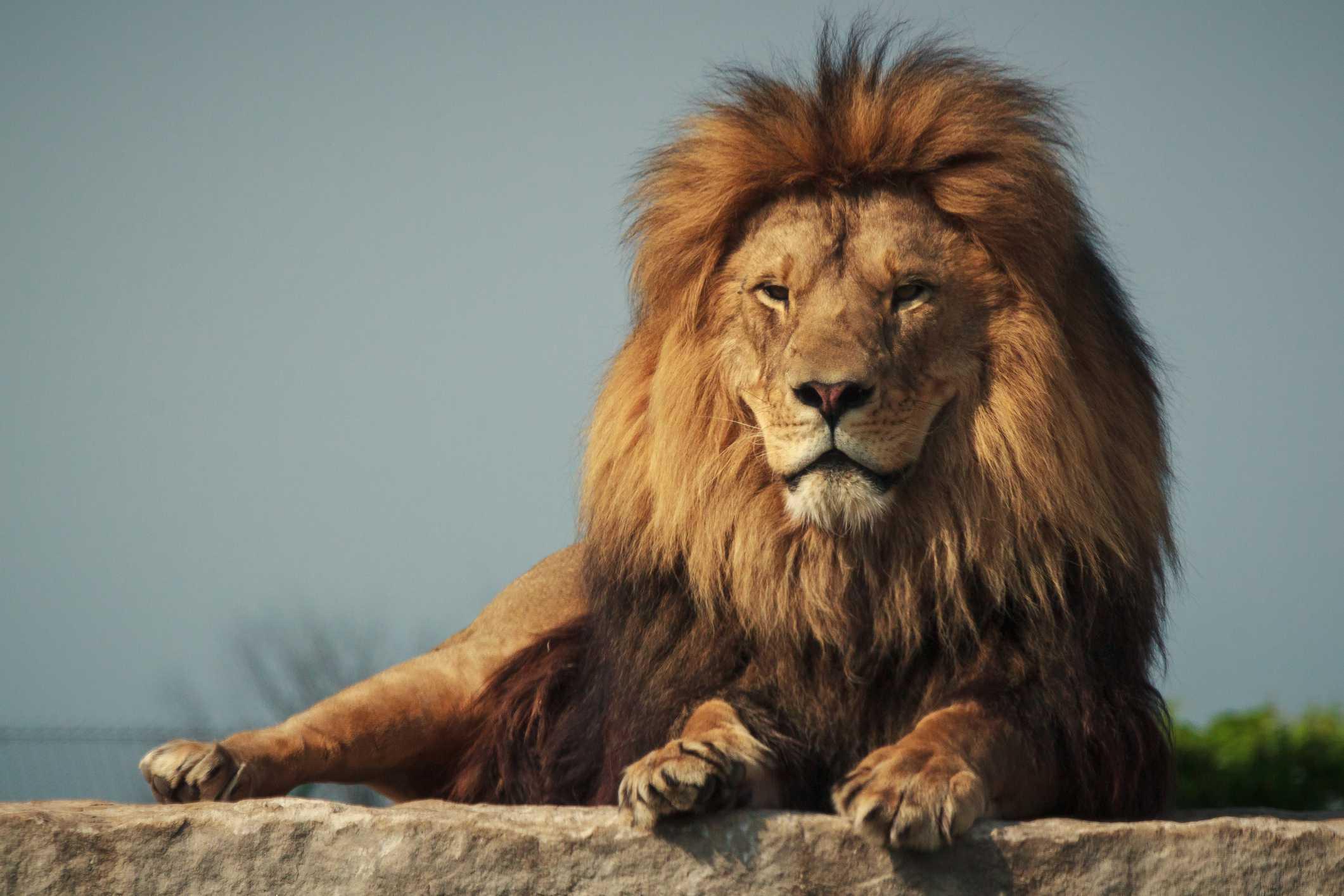 León africano macho acostado en una roca