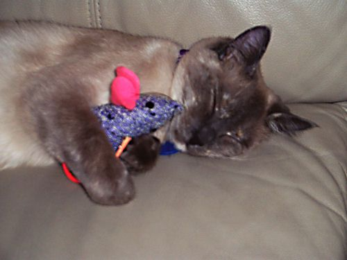Picture of Violet, a Siamese Mix Cat