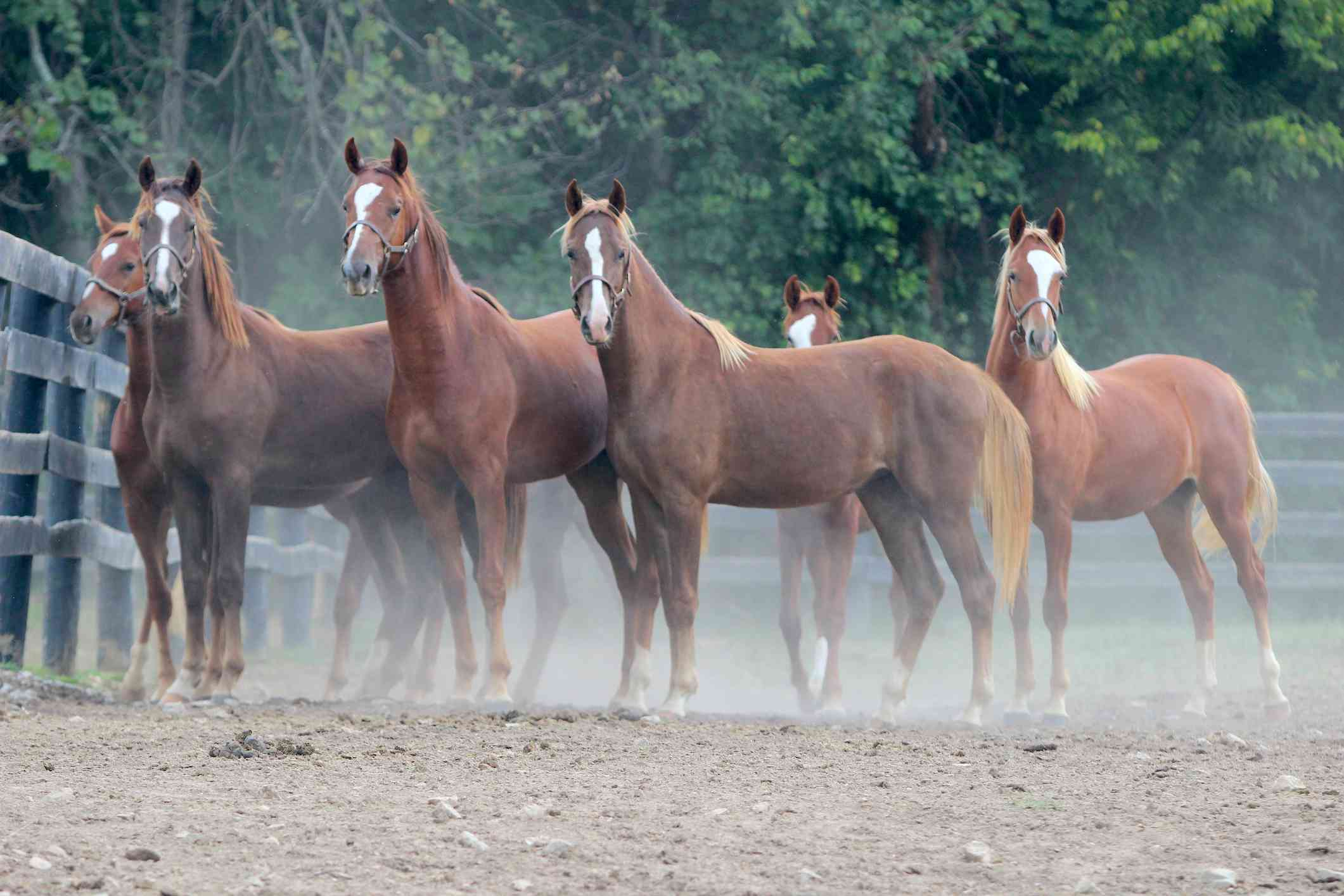 Herd of young chestnut Saddlebreds in a paddock.