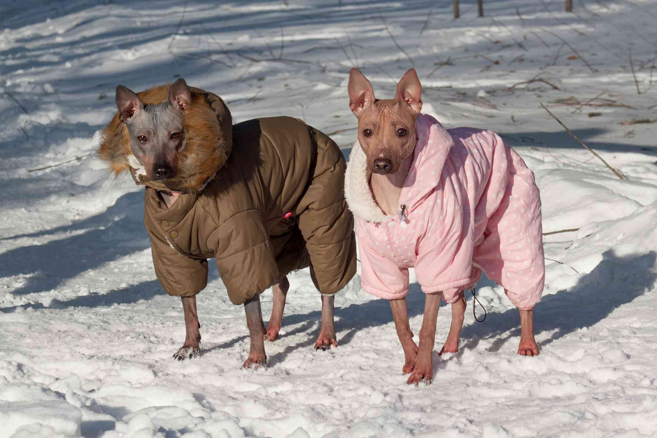 Two American Hairless Terriers in coats in the snow