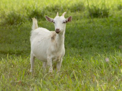 Keeping and Caring for Goats as Pets