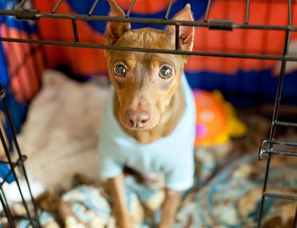 A dog (miniature pinscher) wearing a blue sweater sits patiently in crate with bedding.