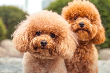 Two apricot poodles looking at camera; fluffy dogs outside