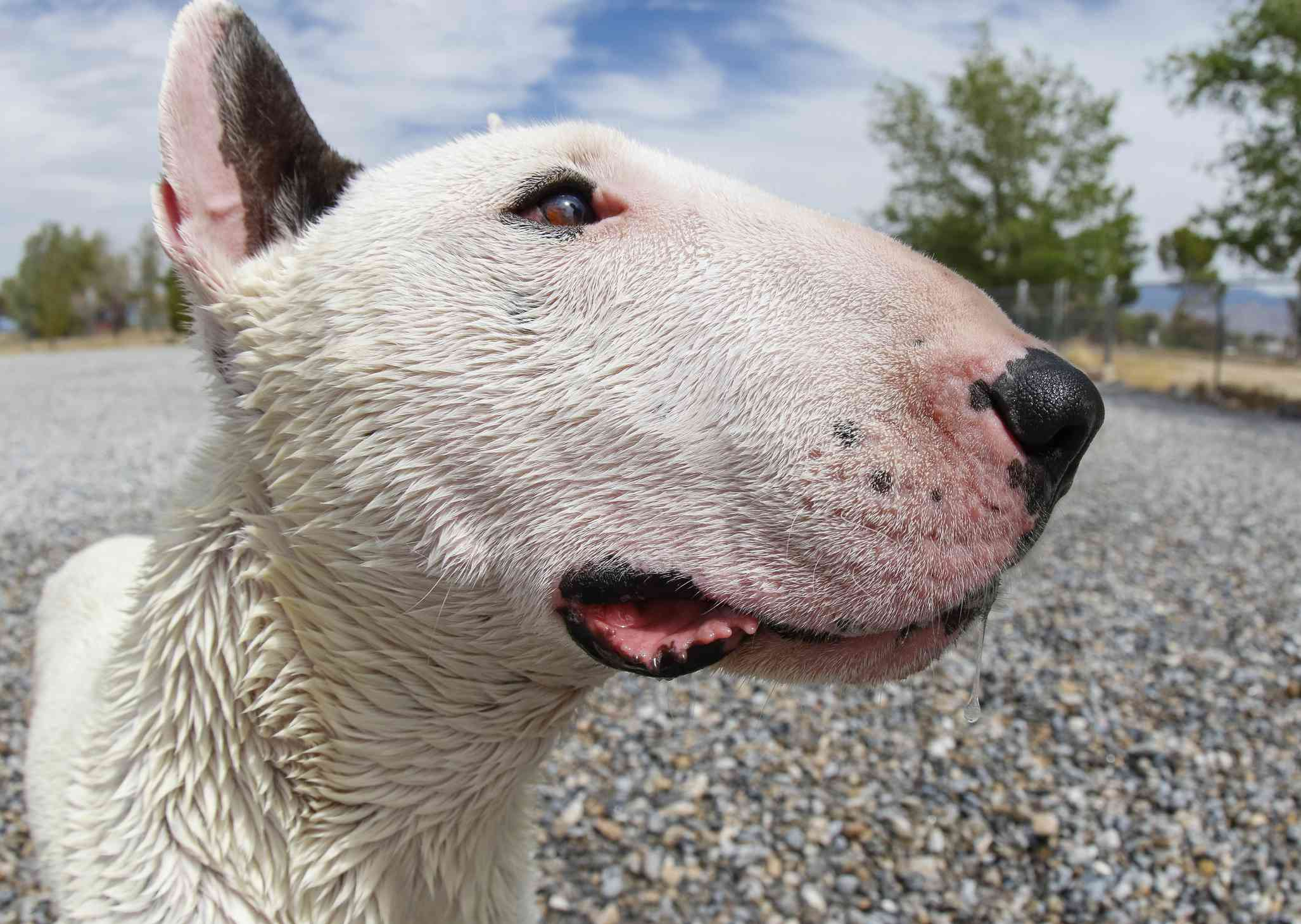 White mini bull terrier profile of head