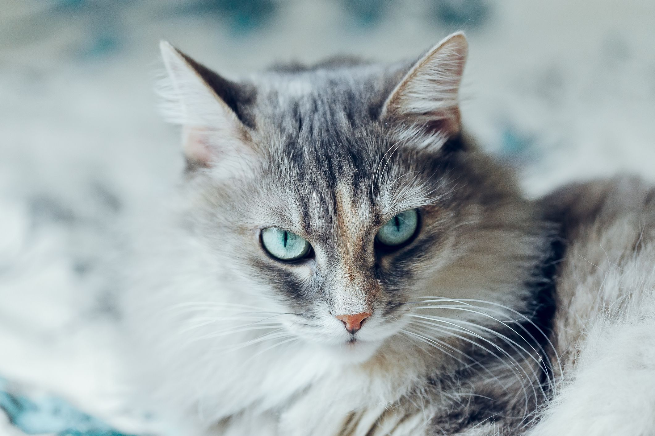 Siberian Cat Full Profile History And Care