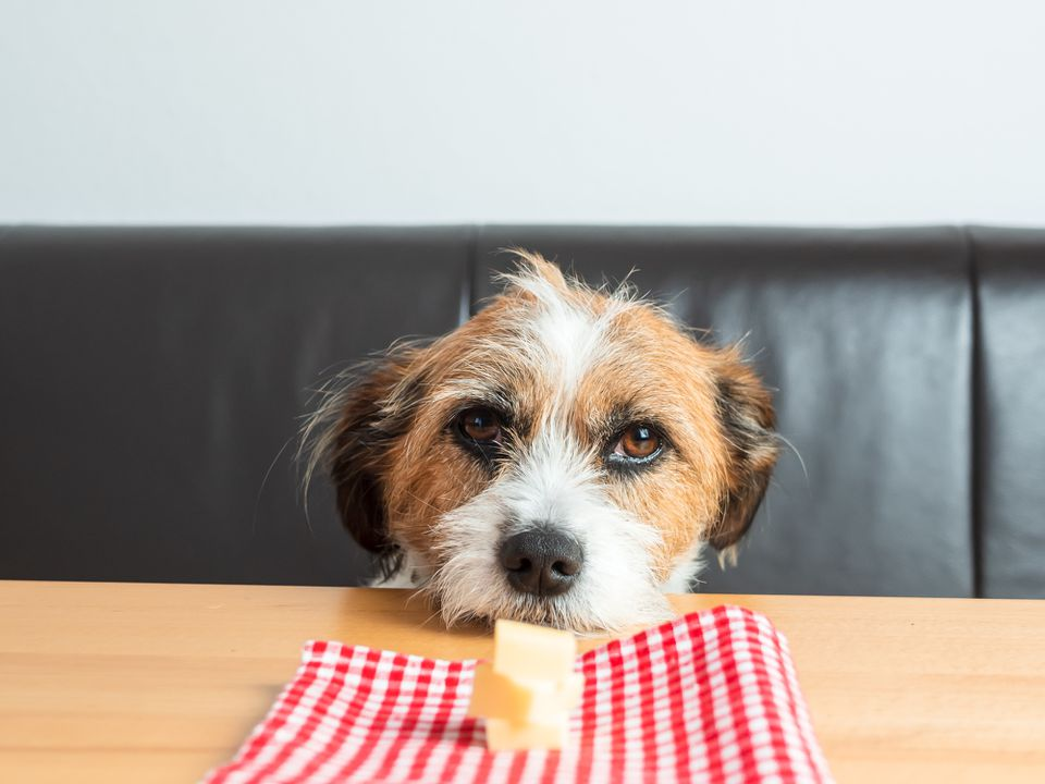 Mixed terrier staring at a piece of cheese on the table
