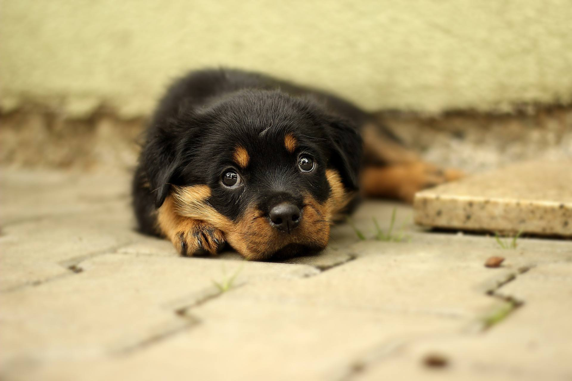A rottweiler puppy looking into the camera.