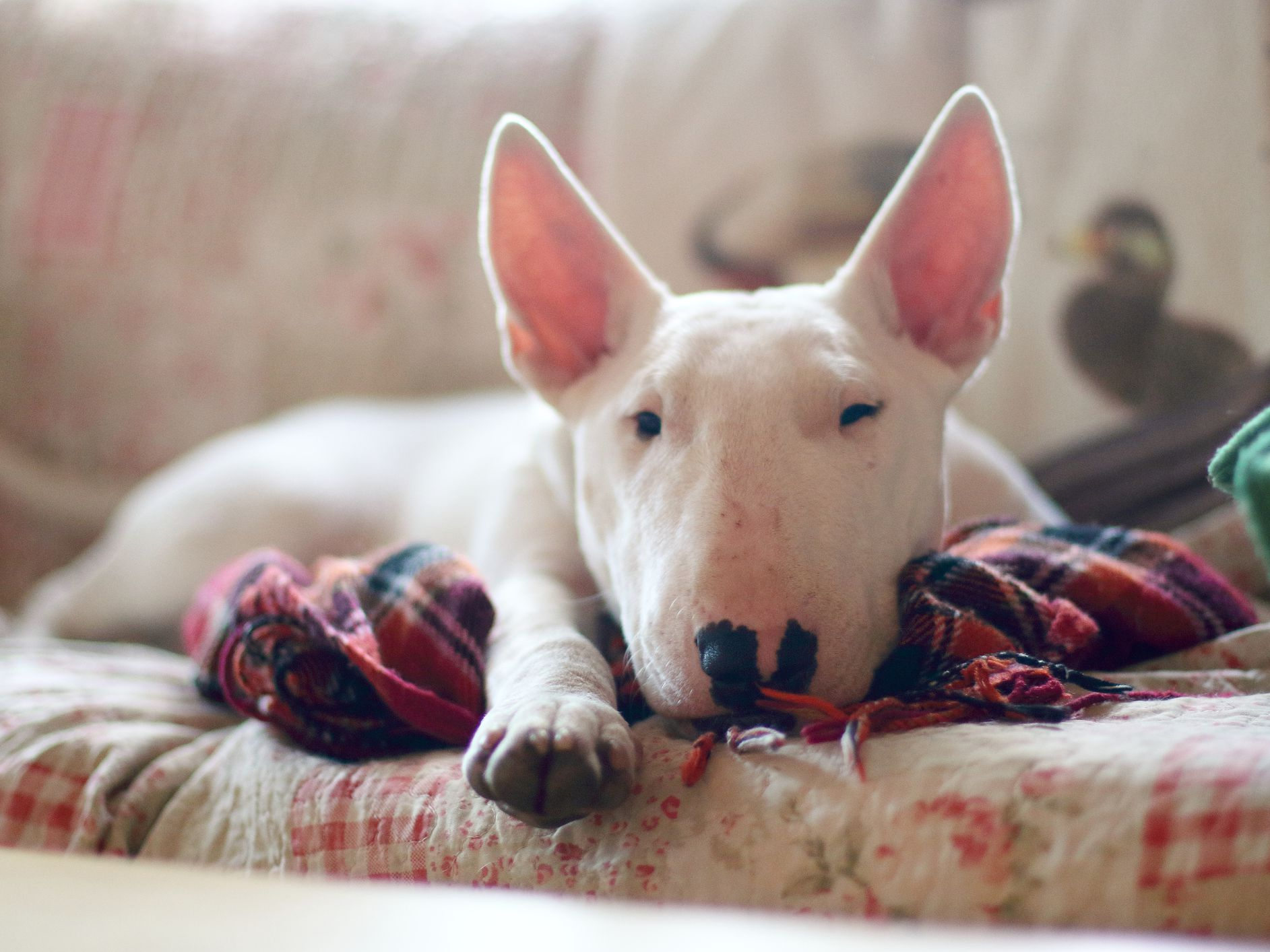 Miniature Bull Terrier Full Profile History And Care