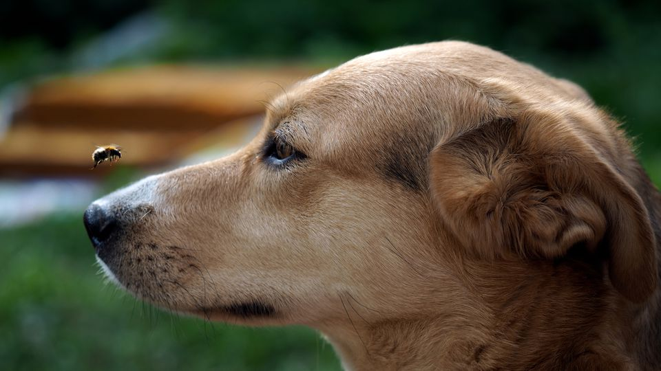 Profile of dog looking at bee.