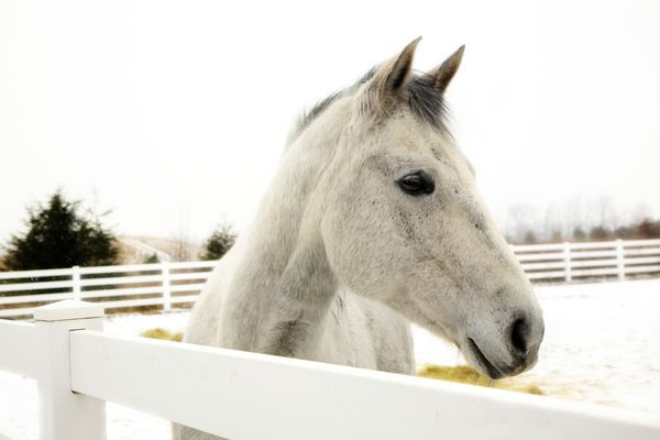 A light gray appendix horse standing behind a white fence in the snow.