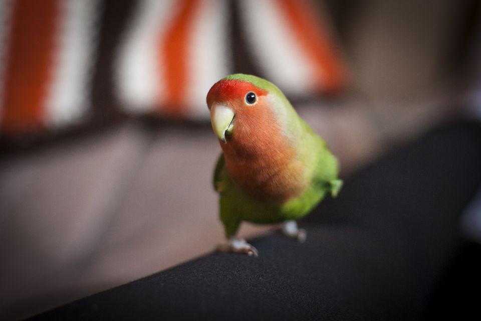 Parrot looking at camera