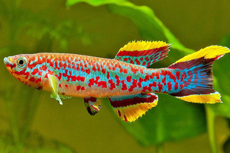 Brightly colored Gardneri (Aphyosemion gardneri) in aquarium