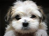 Maltese-Shihtzu puppy after first bath by wsilver on Flickr